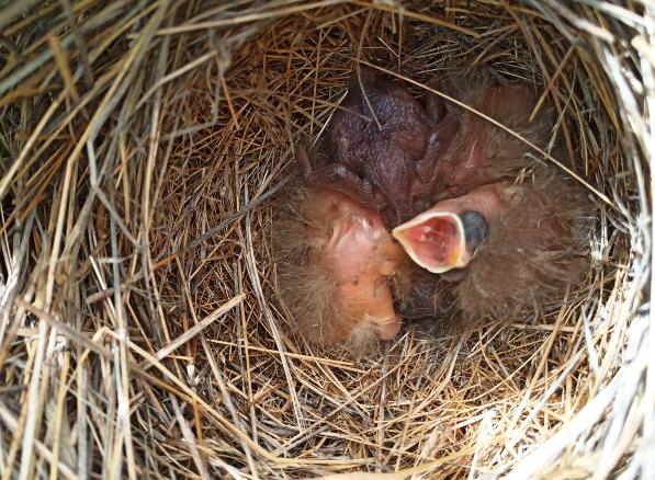 Nido de pájaros cerca de Frades de la Sierra