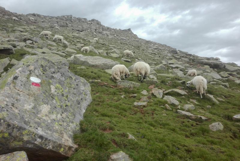 Ovejas pastando al lado del GR de Picos de Urbión