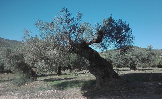 Olivo del Mas del Senyor - Serra de Irt